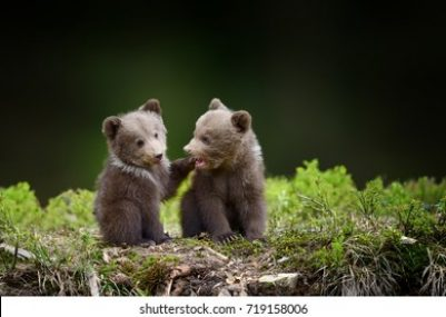 two-young-brown-bear-cub-260nw-719158006